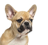 Close-up pf a French Bulldog puppy, 3 months old, isolated on wh — Stock Photo