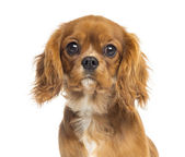 Close-up of a Cavalier King Charles Spaniel puppy, 5 months old, — Stock Photo