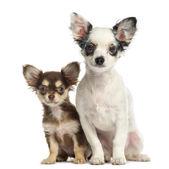 白で隔離され、お互いの隣に座っているチワワ子犬 — ストック写真