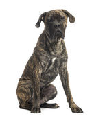 Cane Corso sitting, 8 months old, isolated on white — Stock Photo