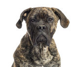Close-up of a Cane Corso, 8 months old, isolated on white — Stock Photo