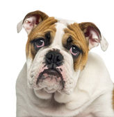 Close-up of an English Bulldog puppy looking desperate, 4 months — Stock Photo