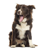 Border Collie sitting, yawning, 9 months old, isolated on white — Stock Photo