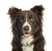 Close-up of a Border Collie panting, 9 months old, isolated on w — Stock Photo