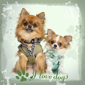 Two dressed up Chihuahuas sitting, on designed background, 10 mo — Stock Photo