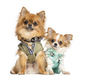 Two dressed up Chihuahuas sitting, 10 months and 2 years old, is — Stock Photo