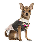 Close-up of a dressed up Chihuahua looking at the camera, isola — Stock Photo