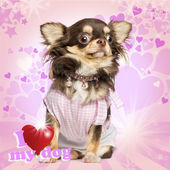 Dressed up Chihuahua looking stunned, sitting on fancy backgroun — Stock Photo