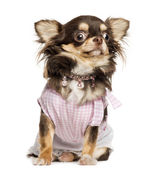 Dressed up Chihuahua looking stunned, sitting, isolated on white — Stock Photo