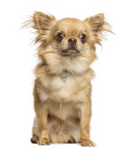 Sitting Chihuahua wearing a fancy collar, 2 years old, isolated — Stock Photo