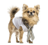Dressed up Chihuahua standing, looking at the camera, isolated o — Stock Photo