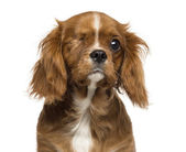 Close-up of a one-eyed Cavalier King Charles puppy, 4 months old — Stock Photo