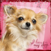 Close-up of a Chihuahua on designed background — Stock Photo