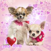Two Chihuahua puppies with bow collars, on heart background — Stock Photo