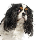 Close-up of a Cavalier King Charles Spaniel, 5 years old, isolat — Stock Photo