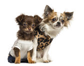 Dressed up Chihuahua puppies sitting, 3 and 9 months old, isolat — Stock Photo