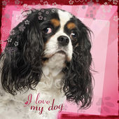 Close-up of a Cavalier King Charles Spaniel, 5 years old, on des — Stock Photo