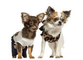 Dressed up Chihuahua puppies standing, 3 and 9 months old, isola — Stock Photo