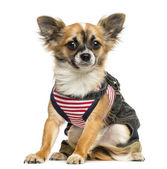 Dressed up Chihuahua sitting, looking at the camera, 9 months ol — Stock Photo