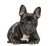 French Bulldog lying, looking at the camera, 2 years old, isolat — Stock Photo