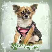Dressed up Chihuahua sitting on green heart background, 9 months — Stock Photo