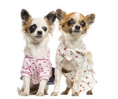 Two dressed-up Chihuahuas sitting, 9 months old, isolated on whi — Stock Photo