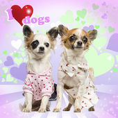 Two Chihuahuas dressed up on heart background, 9 months old — Stock Photo