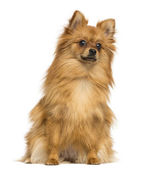 German Spitz sitting, 1 year old, isolated on white — Stock Photo