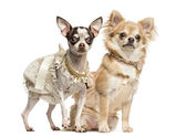 Two dressed-up Chihuahuas sitting and standing, 2 years and 9 mo — Stockfoto