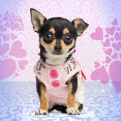 Dressed up Chihuahua puppy facing, sitting on heart background, — Stock Photo