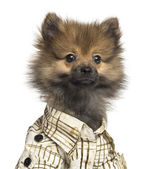 Close-up of a Spitz puppy wearing a checked shirt, 4 months old, — Stock Photo