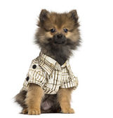 Dressed-up Spitz puppy sitting, looking at the camera, 4 months — Stock Photo
