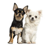 Chihuahua puppies next to each other, looking at the camera, iso — Stock Photo