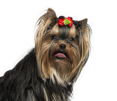 Close-up of a Yorkshire Terrier wearing a bow, sticking his tong — Stock Photo