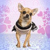 Dressed up Chihuahua on heart background, 3 years old — Stock Photo