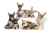 Group of dressed-up Chihuahuas, isolated on white — Stock Photo