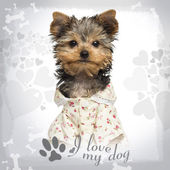 Dressed up Yorkshire Terrier puppy, looking at the camera,10 wee — Stock Photo