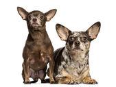 Chihuahua mirando hacia arriba, al lado de cada otros, 3 y 2 años de edad, iso — Foto de Stock