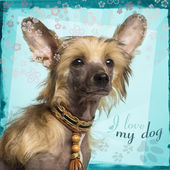 Close-up of a Chinese Crested Dog puppy, 4 months old, on design — Stockfoto
