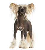 Chinese Crested Dog, standing, 3 years old, isolated on white — Stock Photo