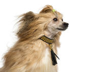 Close-up of a Chinese Crested Dog, 30 months old, isoalted on wh — Stock Photo