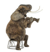 African elephant performing, seated on a stool, isolated on whit — Stock Photo