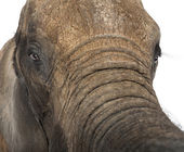 Close up of an African elephant — Stock Photo