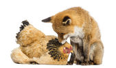 Red fox, Vulpes vulpes, sitting next to a Hen, lying, looking at — Stock Photo