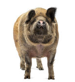 Domestic Pig standing and looking up, isolated on white — Stock Photo