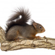 Stock Photo: Red squirrel or Eurasian red squirrel, Sciurus vulgaris, standin