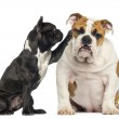 Stock Photo: French bulldog reaching at bored English bulldog, isolated on