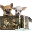 Two Chihuahua puppies in a vintage box, 4 months old, isolated o — Stock Photo