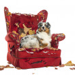 Stock Photo: AustraliShepherd lying proudly on detroyed armchair, isolat