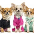 Foto Stock: Group of dressed up Chihuahuas, isolated on white